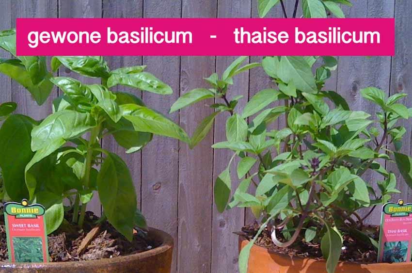 verschil tussen thaise basilicum en gewone basilicum